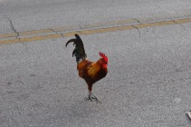 Key West Rooster (4)