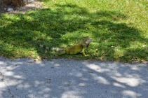 Wild Iguana @ KOA (4)